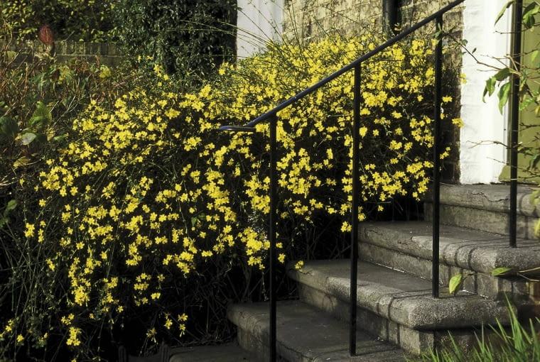 jasminum nudiflorum hedge steps,small front garden november cambridge