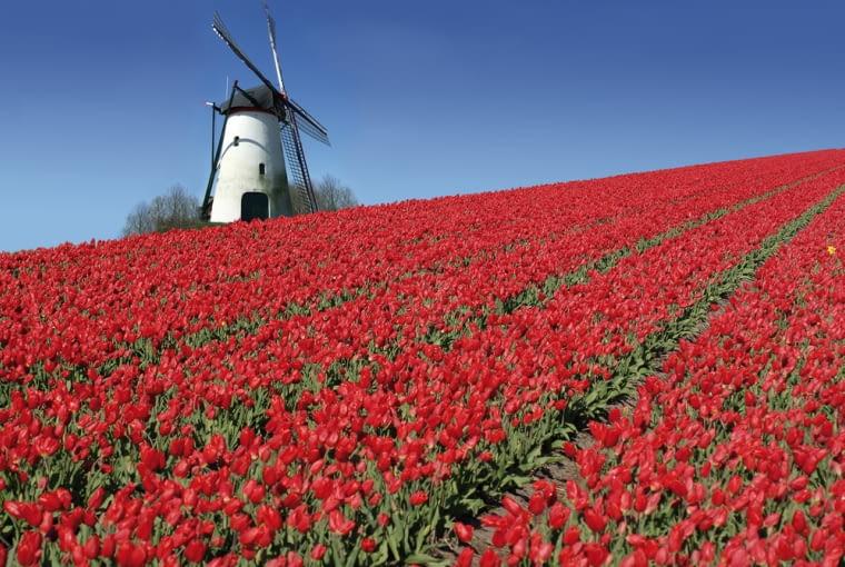 Holandia, kwiaty
