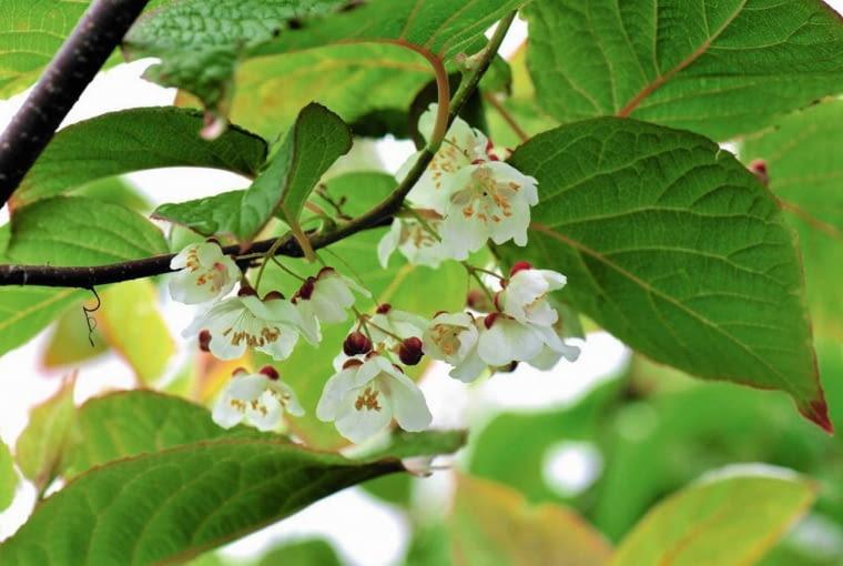 AKTINIDIA jest dwupienna. Jedne rośliny tworzą kwiaty męskie (na zdjęciu), inne - żeńskie.