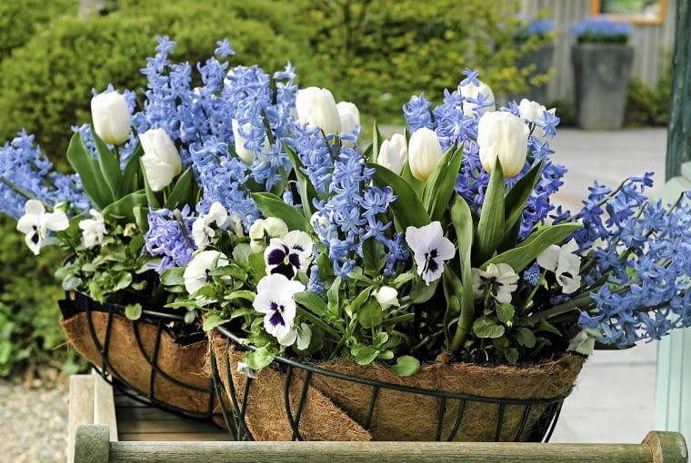 Idealny wiosenny tercet do skrzynek i donic: hiacynty, wczesne odmiany tulipanów i niezawodne bratki.