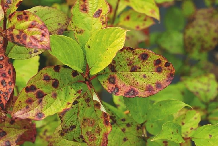 CZERWONE, POSZERZAJĄCE SIĘ PLAMY na liściach derenia. Przyczyna: plamistość liści.
