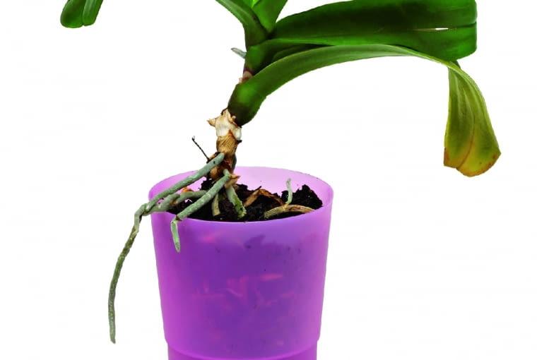 Liście zżółknięte lub z plamami chorobowymi trzeba usunąć, a po przesadzeniu 2-3 razy opryskać roślinę środkiem przeciwgrzybowym.