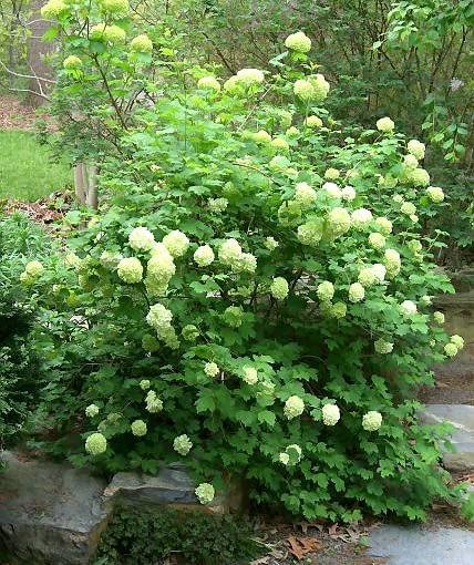 Rozłożysty, około 4- metrowy krzew kaliny koralowej 'Roseum' ugina się od ciężkich kwiatostanów w kształcie śnieżnych kul.