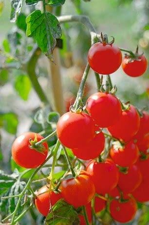 Pomidor 'Koralik'