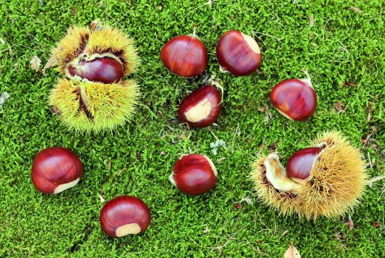 Kasztany z rodzimych drzew nie są jadalne, ale mają wysokie stężenia escyny i eskuliny, wykorzystywane są przez przemysł farmaceutyczny