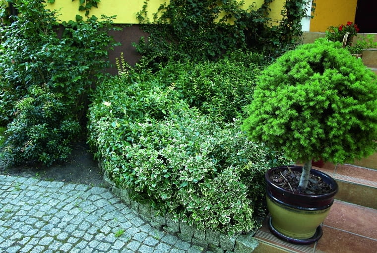 Odmiana 'Sunspot' to niski, ścielący się krzew, tworzący kobierce wys. 20-30 cm. To doskonała roślina okrywowa, nadająca się też do uprawy w pojemnikach.