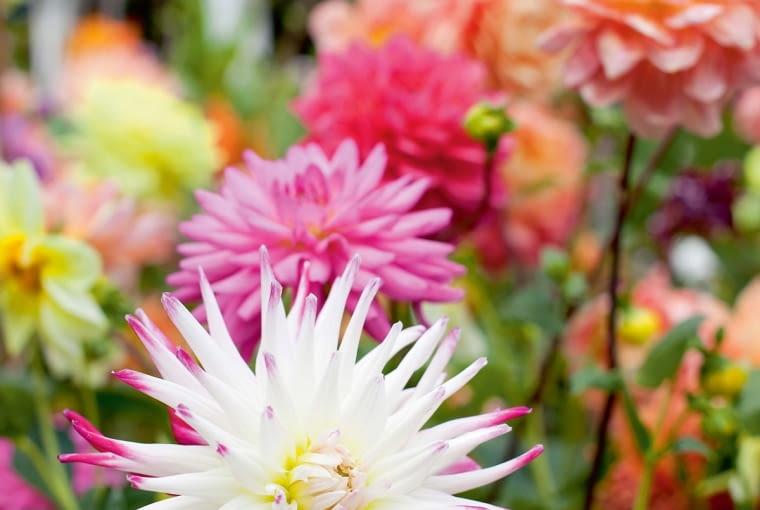 'Anne Marie' - dalia strzępiasta, wys. 90-120 cm, śr. 'kwiatu' 10-14 cm.