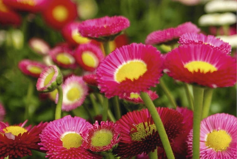 Bellis SLOWA KLUCZOWE: Belli Bellis perennis bl´hend Bl´te Close Up Nahaufnahme pink rosa Tausendsch^n wei? Hochformat