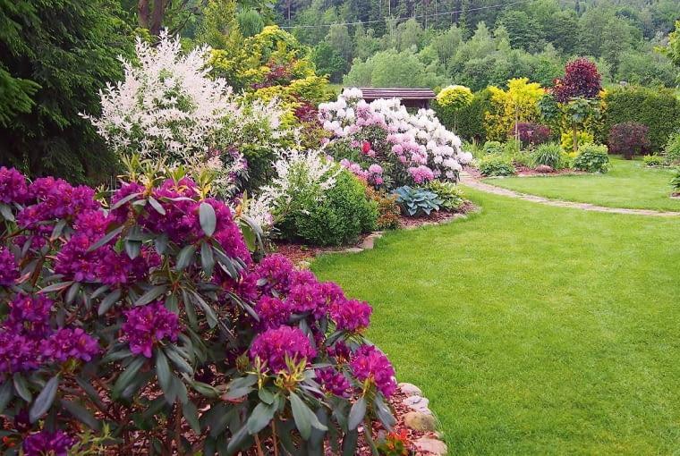 Różaneczniki, czyli rododendrony i azalie, pod koniec maja są już w pełnym rozkwicie. Wyglądają zjawiskowo! Ogrom kolorowego kwiecia i latających wokół pszczół, trzmieli i motyli budzi zachwyt. Na to widowiskowe kwitnienie czekam z niecierpliwością prawie rok.