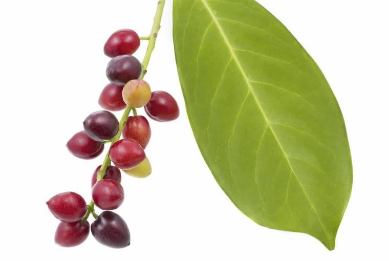 Owoce laurowiśni w różnych fazach dojrzałości. W Polsce rzadko się zawiązują. Są trujące.