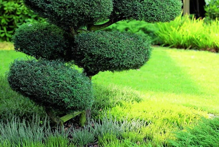 Strzyżone iglaki i bukszpany to znak rozpoznawczy mojego ogrodu. Ich formowanie nie jest łatwe, ale dla mnie to sama przyjemność.