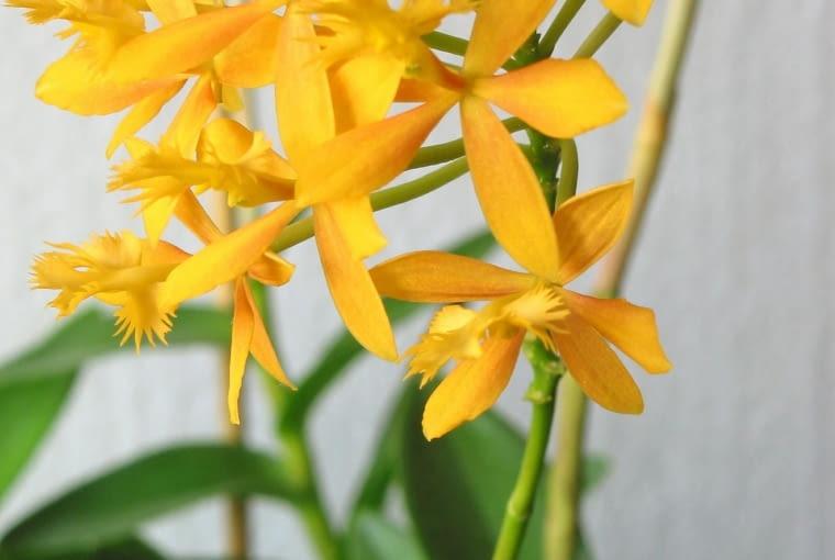 Storczyki epidendrum. Kwiaty doniczkowe