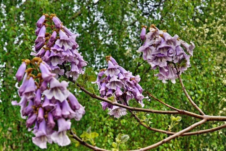 Paulownia, oxytree