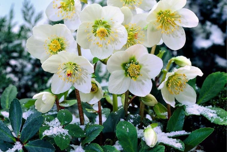CIEMIERNIK BIAŁY jest byliną o zimozielonych liściach. Kwitnie zimą lub na przedwiośniu.