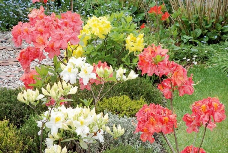 Kwiaty azalii pięknie wyglądają na zielonym tle kolekcji wrzosów.