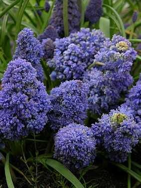 Szafirek Blue Spike. Kwiaty cebulowe
