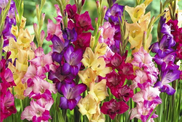 Gladiolus mixed SLOWA KLUCZOWE: Gartenanlage Gladiole Gladiolen Gladiolus Schwertblume Zwiebelgew chs gemischt Hochformat