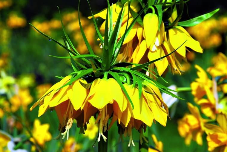 """Odmiana """"Maxima Lutea"""" ma wyjątkowo duże złociste kwiaty (o dł. 5 cm)."""