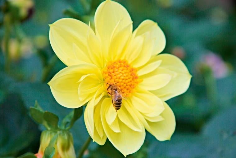 Dalia ogrodowa kwitnie przez całe lato, długo dostarczając pożytków pszczołom.