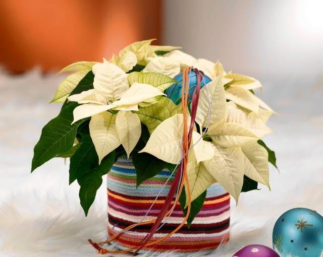 Ozdoby i dekoracje świąteczne. Stroiki bożonarodzeniowe. Gwiazda betlejemska. Prążkowane wdzianko poinsecji dowodzi, że Boże Narodzenie to nie tylko klasyczna zieleń i czerwień.