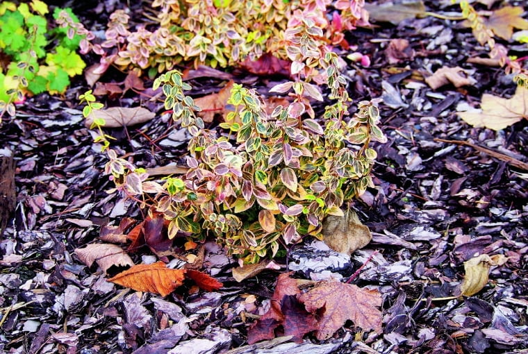 Ziemię wokół krzewów wyściółkujmy korą sosnową - będzie wolniej wysychać .