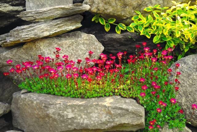 Skalnica Arendsa 'Blutenteppich'. Rośliny na skalniaki