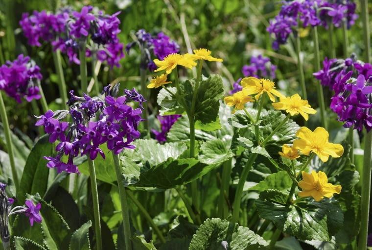 Knieć błotna (Caltha laeta) występuje na południu Polski. Ma żółte kwiaty. Blaszka liściowa rośliny jest lekko pofalowana i ma karbowane brzegi