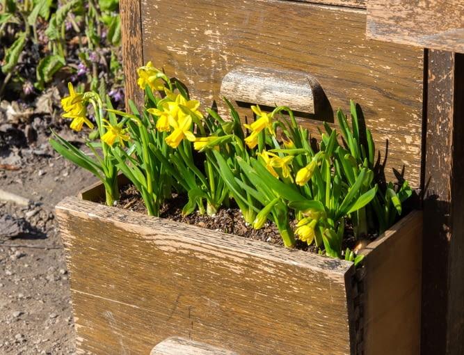 Stara szafka, nie musi iść na śmietnik. W tej zamieszkały żonkile. Tylko od naszej imaginacji zależy, co ciekawego będzie można znaleźć w naszym ogrodzie.