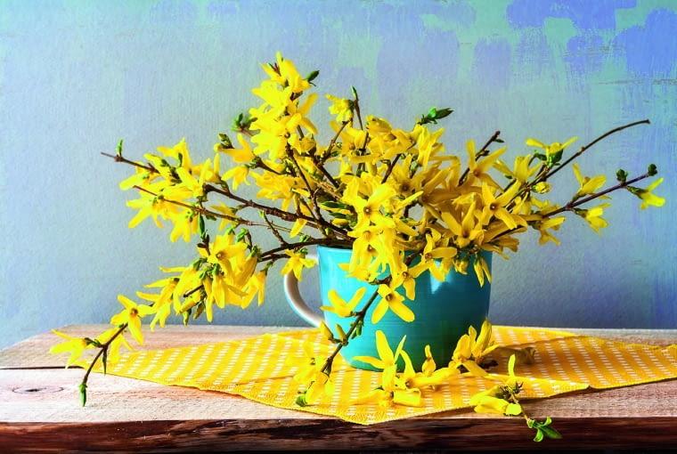 Pąki forsycji rozwijają się po kilku dniach od wstawienia do wody. Kwiaty utrzymują się w wazonie co najmniej przez tydzień.