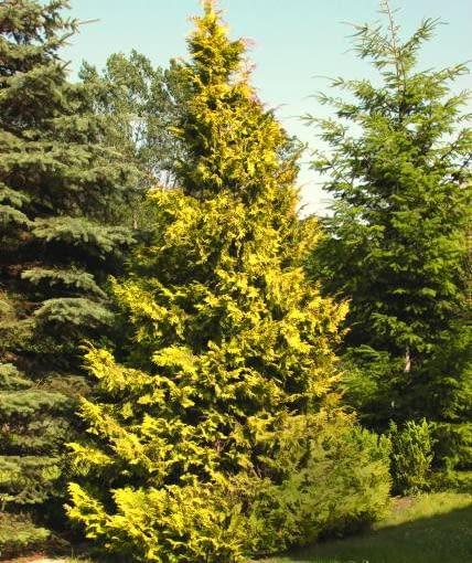 Cyprysik nutkajski 'Aurea' to spore drzewo o stożkowym kształcie. Jest dość odporny na mróz.