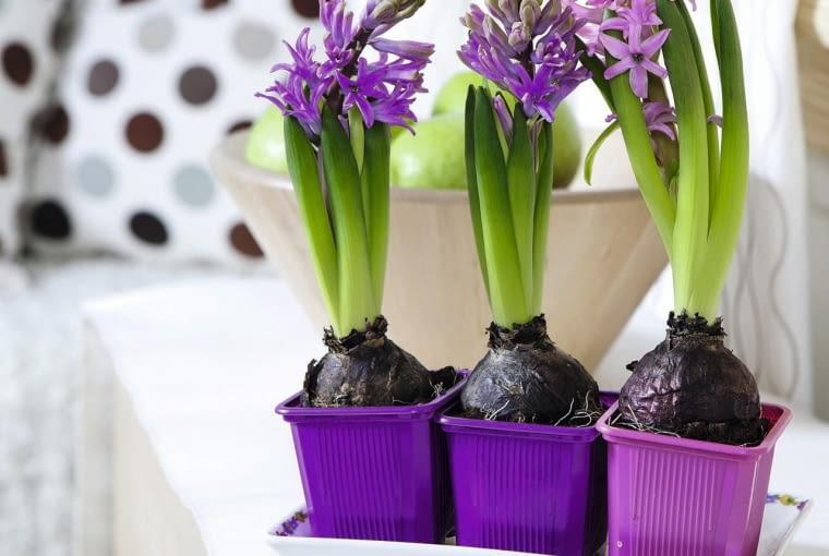 GDY KWIATY ZASCHNĄ, pozostawmy liście, by w cebuli mogły się gromadzić substancje zapasowe.