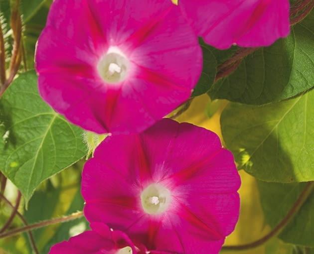 Wilec purpurowy (Ipomoea Purpurea) To jednoroczne pnącze o długości 2-3 m kwitnie do października. Tworzy dzwonkowate kwiaty o średnicy ok. 4 cm, zwykle w odcieniach fioletu i różu. Roślina lubi słoneczne, zaciszne miejsca oraz żyzne, lekko wilgotne wapienne gleby. Warto zbierać jej nasiona do siewu w kolejnym roku.