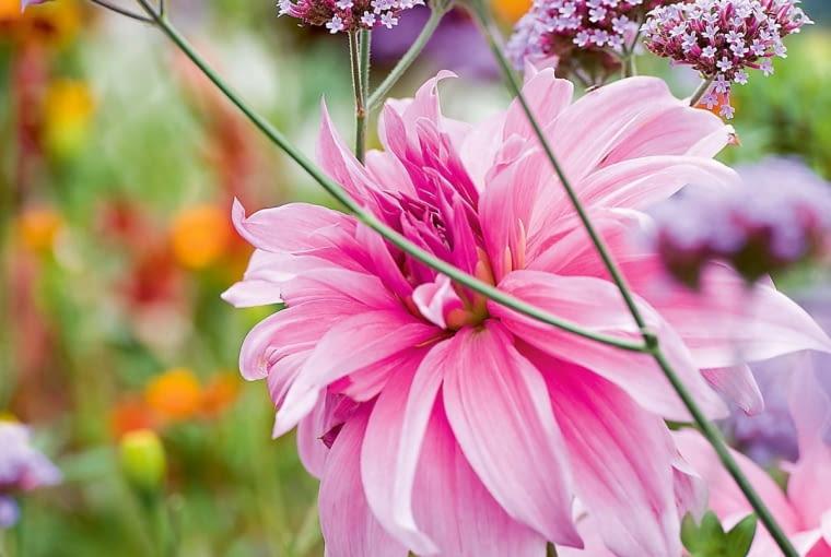 'Karma Pink Corona' - dalia półkaktusowa, wys. 60-90 cm, śr. 'kwiatu' do 20 cm.