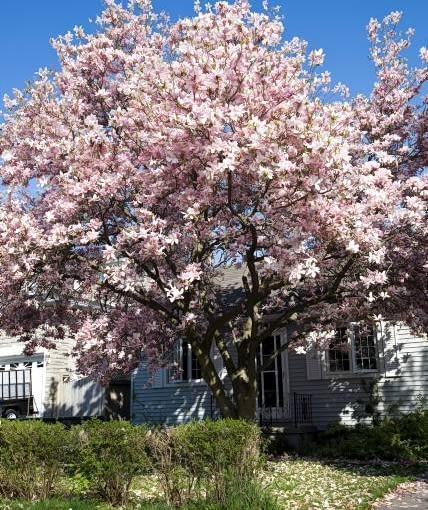 Magnolie z grupy Soulange'a o szerokich koronach zakwitają pod koniec kwietnia, zanim rozwiną się liście.