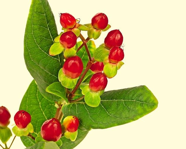 Dziurawiec barwierski słynie z urodziwych owoców dojrzewających jesienią