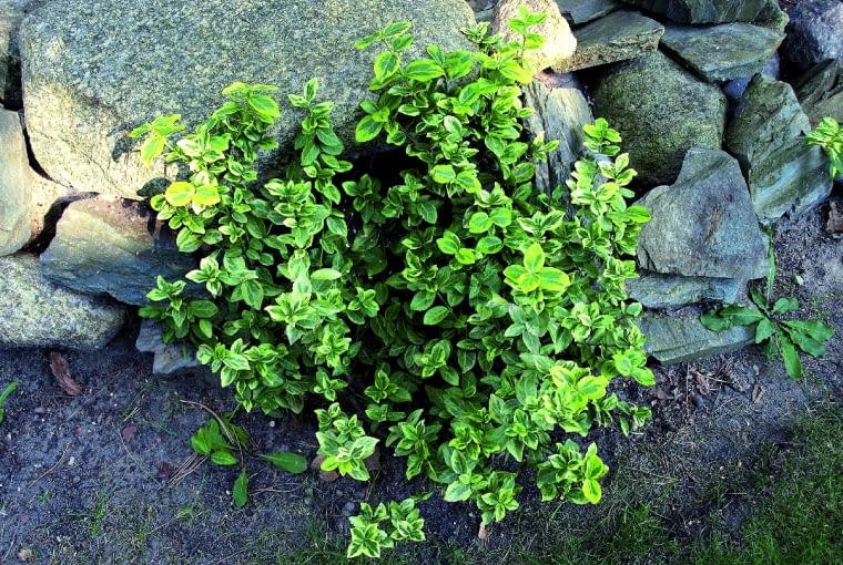 Sadzonki można ukorzeniać w doniczkach z żyzną ziemią.