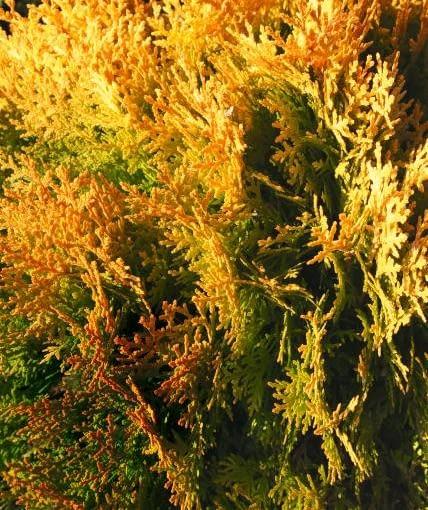 Młode przyrosty bioty Aurea Nana' mają bardzo intensywne zabarwienie. Krzew po 10 latach dorasta do 70 cm wysokości.