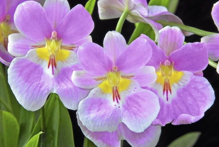 Miltoniopsis villexia kwitnie bardzo obficie.