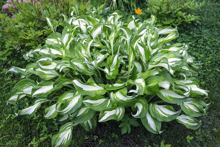 Funkia ogrodowa ma wiele odmian o różnej wielkości i barwach liści.