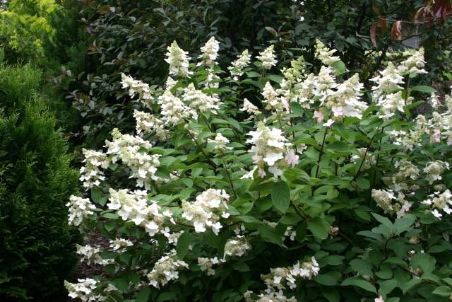 Hydrangea paniculata cv?