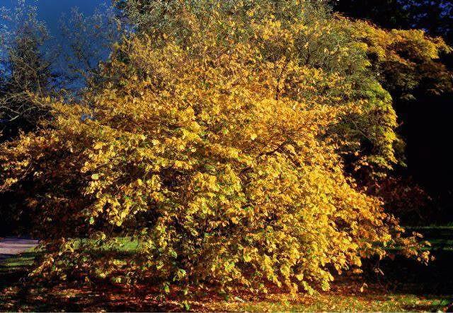 Hamamelis virginiana. SLOWA KLUCZOWE: Botanik Natur Pflanze Pflanzen Querformat