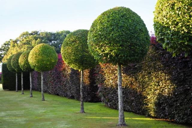 Formal garden with avenue of clipped Carpinus betulus -Hornbeam trees