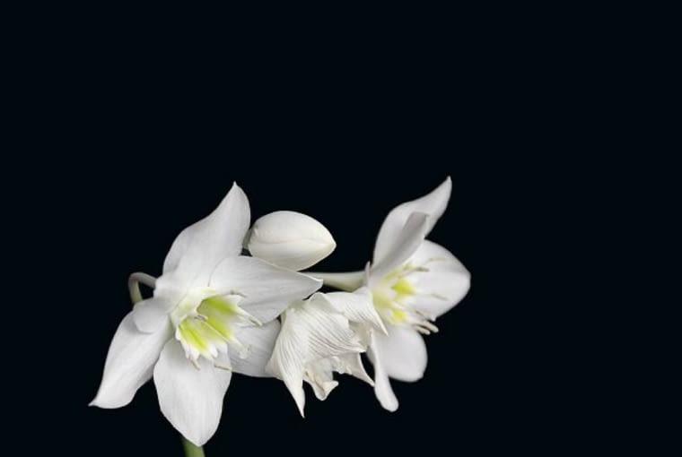 Lilia amazońska Eucharis (Eucharis amazonica)