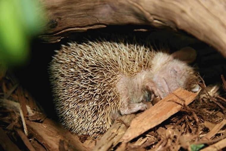 Jeż przed zimą szykuje sobie gniazdo w zacisznych zakamarkach. Można mu to ułatwić budując domek
