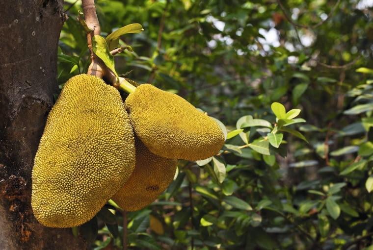 Potężne owoce bochenkowca wyrastają na gałęziach i pniach drzew. Na powierzchni mają kolczaste guzki.