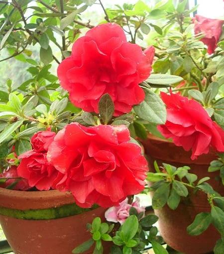 Azalię w okresie kwitnienia podlewamy regularnie i dość obficie. Potem, gdy tworzy nowe pędy - także. Tylko, gdy nie rośnie i nie kwitnie - trochę słabiej. Nie dopuszczamy nigdy do zupełnego zaschnięcia podłoża.