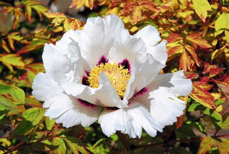 Kwiaty krzewów pochodzące od Paeonia rockii mają płatki ozdobione u nasady purpurowymi plamkami. Mocny kontrast ze śnieżną bielą tworzy dekoracyjny efekt, który przyciąga uwagę