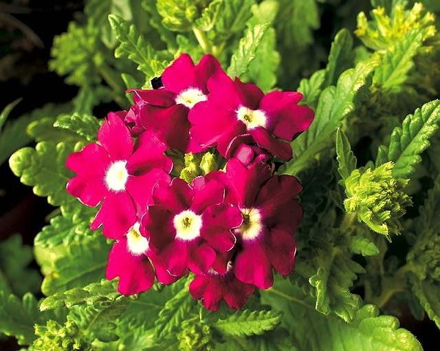 Werbena. Jej pędy zwieszają się na kilkadziesiąt centymetrów. Drobne kwiaty tworzą liczne kwiatostany - fioletowe, różowe, czerwone.