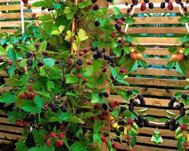 Supported by wooden slatted fence, juicy blackberries grown on the perimeter of a kitchen garden SLOWA KLUCZOWE: Essen Food Frucht Garten Holz KŁche KŁchen Obst Pflanze Sommer Zaun gesund gesunde gesundes Nicola Stocken Tomkins quadratisch