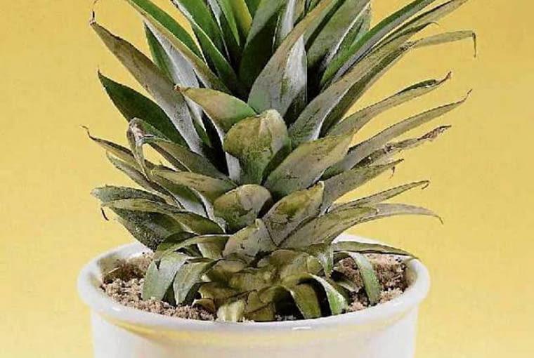 Młoda, świeżo ukorzeniona sadzonka anansa, przesadzona do ziemi.